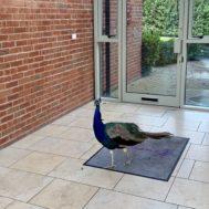 Peacock atrium